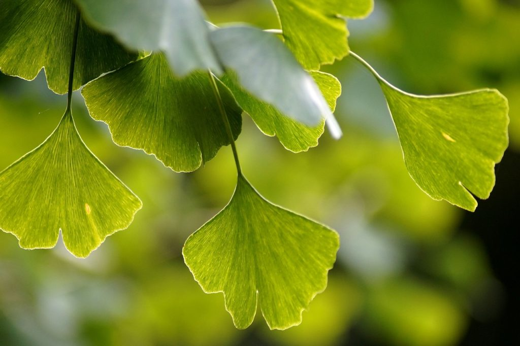 Ginkgo Biloba: Find out what the potential benefits are